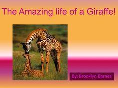 The Amazing life of a Giraffe! By: Brooklyn Barnes.