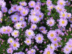 Malé fialové polštářky umí na podzim vykouzlit úsměv na tváři. Nízké astry (Aster dumosus) se i půvabně jmenují - hvězdnice. Článek: http://www.vysnenazahrada.cz/2014/10/jak-jsem-hledala-podzimni-fialove.html