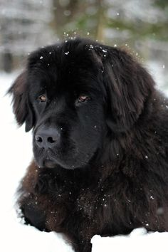 Newfoundland, they love the snow, casey would stay outside forever if I let him