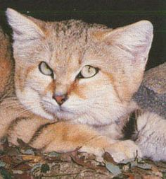 Sand cat facts, photos, videos, sounds and news