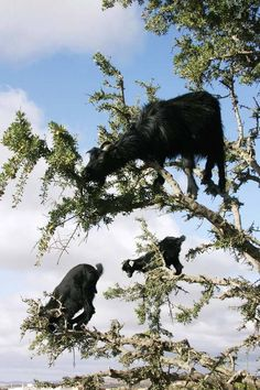 The goats are found in Morocco and they climb these argan trees each spring and summer to eat the leaves.