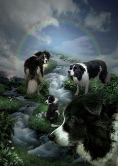 Our pups heading towards the Rainbow Bridge, they'll wait for us!  #bordercollies