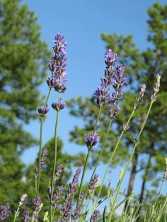 Caring for Lavender