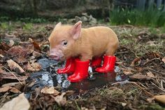 We are not on the same page if you don't find this mini pig in wellies = Adorable! Who does not love Baby Animals?