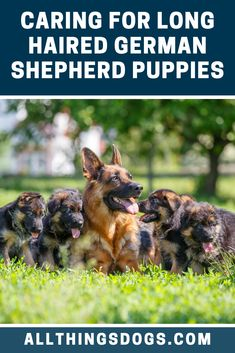 How Dogs And Puppies Learn, A Guide To Dog Training – Puppy Training Black German Shepherd Puppies, Long Haired German Shepherd, German Shepherd Breeders, German Shepherd Training, German Shepherd Pictures, German Shepherds, German Dogs, Australian Shepherd, Shepherd Dog