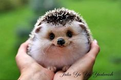 smiling baby hedgehog!