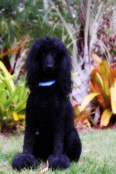 pretty! #Standard #Poodle