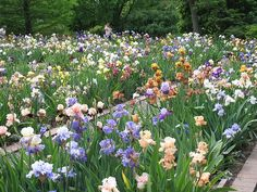 Goodman Iris Garden by Missouri Botanical Garden, via Flickr