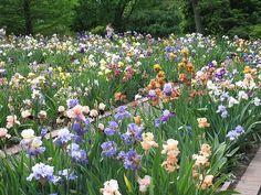 Goodman Iris Garden by Missouri Botanical Garden, via Flickr