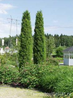 PILARIKATAJA juniper communis f. suecica