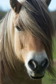 Fjord horse by pixelbart, via Flickr