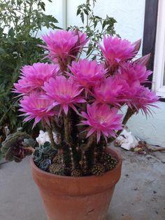 Echinopsis cv. syncopation