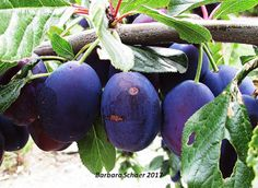 Photography by Barbara Schaer: Fruit and Nuts on the Trees