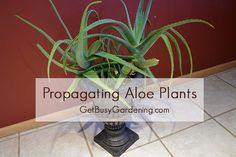 Propagating Aloe Plants