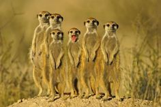 Meerkat Family Google Image Result for http://3.bp.blogspot.com/-lWtEA86pwQ4/UDchbd5QwXI/AAAAAAAAO2o/rPdlqNHC_9U/s1600/Meerkat3.jpg