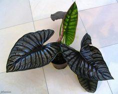 Unique Plants, Large Plants, House Plants Decor, Plant Decor, Indoor Garden, Indoor Plants, Bonsai, Pond Waterfall, Black Garden
