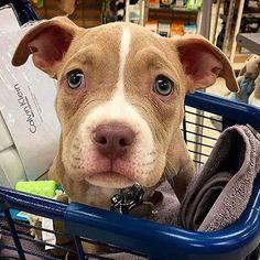 So cute #pitbull