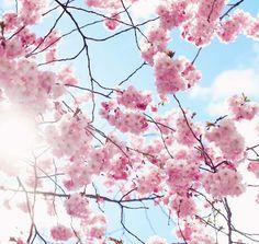Körsbärsblom, Söders höjder och kattrumpor