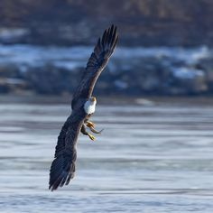 Learn more about bald eagles at several upcoming events in St. Eagle Watch, Pick One, Family Activities, The Great Outdoors, St Louis, Illinois, Bald Eagles, Upcoming Events, Rivers