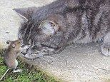 Real life story ~ How a captured mouse stands his ground & hits cat back , before escaping ..
