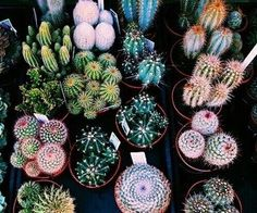 cactus, plants, and green image Cacti And Succulents, Planting Succulents, Planting Flowers, Succulents Tumblr, Cactus Planta, Cactus Y Suculentas, Window Plants, Air Plants, Nature Plants