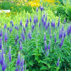The 7-inch spikes of veronica bloom atop 12- to 24-inch plants in shades of blue or red from early summer through fall: http://www.bhg.com/gardening/flowers/perennials/top-perennials-for-your-garden/?socsrc=bhgpin100914veronica&page=2