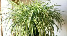 Patří k nim například aloe vera, kalanchoe či tučnoslist (crassula). Zelenec (Chlorophytum) je však ve svém příznivém vlivu na zdraví doslova nepřekonatelný. Tato rostlina má totiž úžasnou sílu ve srovnání s jinými, vyčistit vzduch od škodlivých látek. Působí jako zelený vysavač, který doslova vtahuje bakterie, škodlivé látky, spóry a nečistoty, které se nám v interiéru …