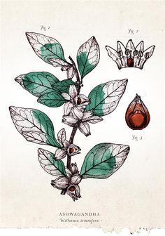 Herbal Ally | Ashwagandha