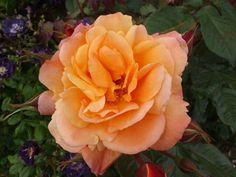 Westerland rose. Photo credit C S Burchell