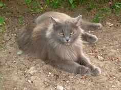gray very big cat!