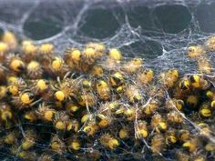 The Spider Life Cycle: Spiderlings.