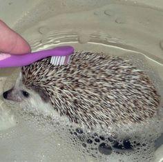 Erizo se baña