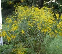 12 Flowers That Will Bring Butterflies to Your Yard: Goldenrod (Solidago canadensis)