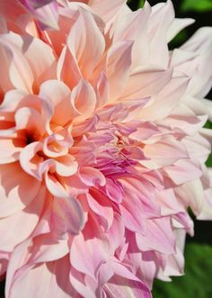 Dahlia 'Cafe au Lait' ...a creamy mix of pink and pale peach.