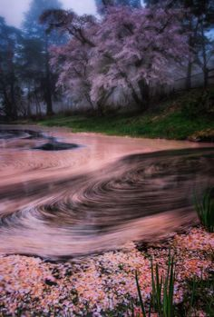 Cherry blossom petals in Japan: photo by Shumon Saito