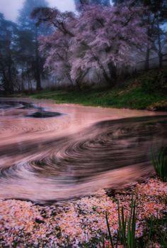 Cherry blossom petals in Japan: photo by Shumon Saito