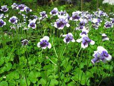 Viola hederacea - April Native Flower