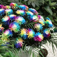 300-Seads-Rainbow-Chrysanthemum-Flower-Seeds-rare-Special-unusual-Colorful