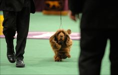 Sussex spaniel..looks like my Brinkly!
