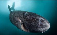 de oudste Groenlandse haai ooit was 395 jaar geworden                pin Stijn