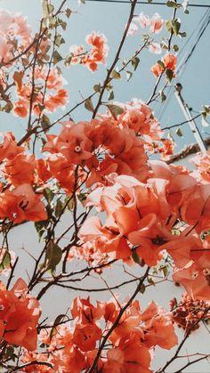 Pretty coral bougainvillea bush tree. Bougainvillea landscaping.