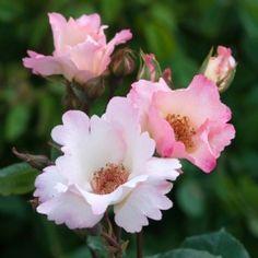 Ellen Wilmott - David Austin Roses