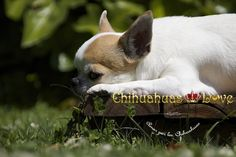 Chihuahuas Love - Blog de Chihuahuas. Ya Podéis Leer Todos Los Post Borrados.
