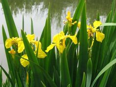 5 Iris pseudacorus plugs Yellow Flag water plant Wild Native Flower Bat Pond Water Plants, Water Garden, Foliage Plants, Water Features, Yellow Flowers, Pond, Garden Design, Flag, Shades