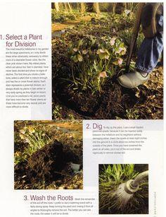 Horticulture article on dividing hybrid hellebores