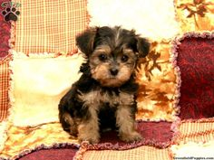 Minnie Yorkie-Poo for sale from Gordonville, PA.