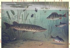 Pond Life, Underwater Life, Batman, Fish, History, Illustration, Pictures, Animals, Image