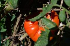 5 Tips for Growing Great Tomatoes