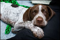 gsp puppy..omg i cannot stop pinning my fave breed. Can't wait to get another one..sweetest dogs on earth