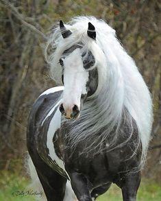 Austin | Gypsy Vanner Horse Stallion | Chocolate Dapple | Griffin Sport Horses | http://www.griffinsporthorses.com